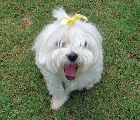 Lucky the Maltese Pictures 66109