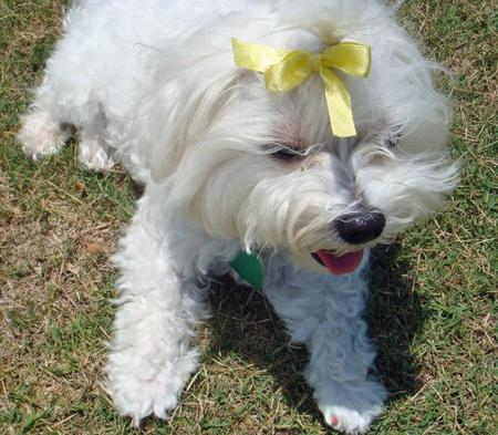 Lucky the Maltese Pictures 66111
