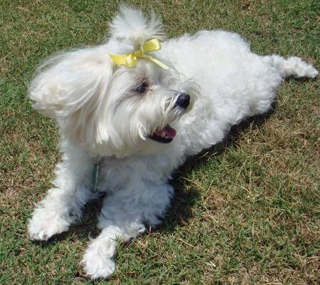 Lucky the Maltese Pictures 66110