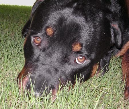 Bruno the Rottweiler Pictures 47120