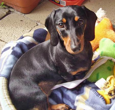 Millie the Miniature Dachshund Pictures 45799