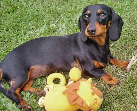 Millie the Miniature Dachshund Pictures 45800