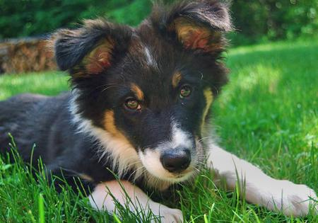 Tek the Australian Shepherd Pictures 52041