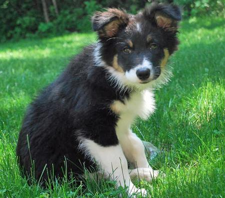 Tek the Australian Shepherd Pictures 52038
