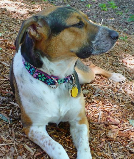 Holly the Hound Mix Pictures 208919