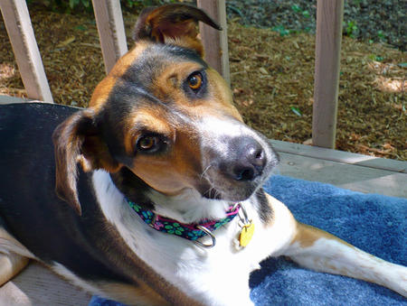 Holly the Hound Mix Pictures 208921