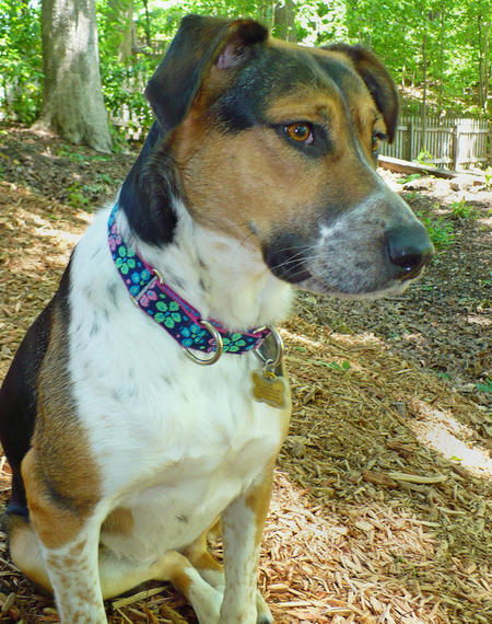 Holly the Hound Mix Pictures 208922
