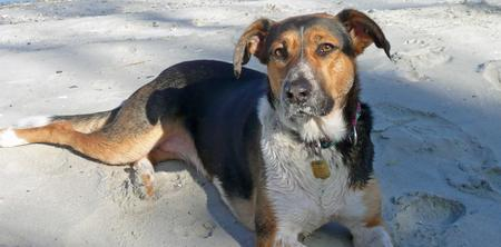 Holly the Hound Mix Pictures 208924
