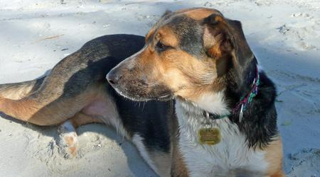 Holly the Hound Mix Pictures 208925