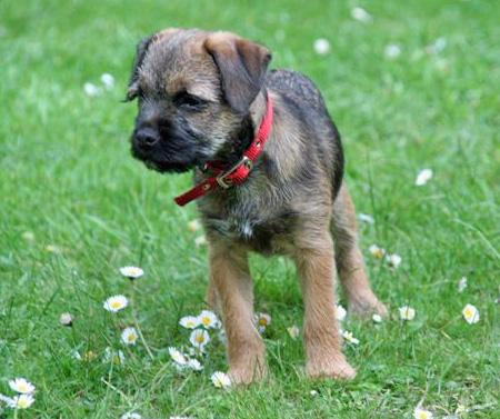 Phiz the Border Terrier Pictures 50736