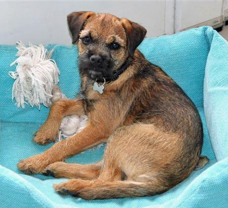 Phiz the Border Terrier Pictures 50739