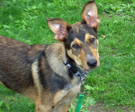 Drake the Australian Cattle Dog Mix Pictures 248431