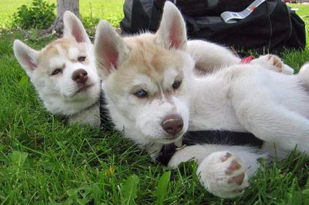 Hurley and Haydn the Huskies Pictures 51605