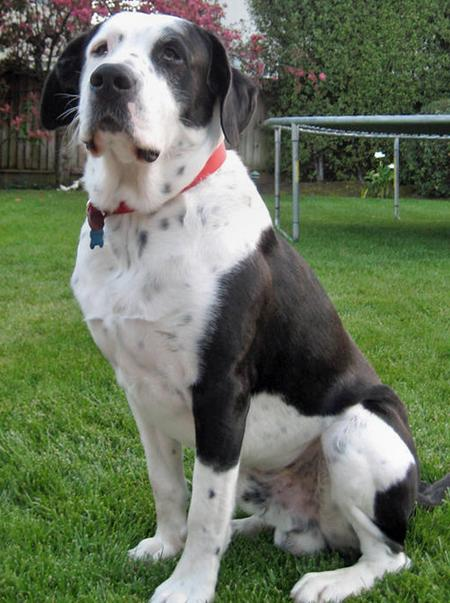Bailey the Pointer Mix Pictures 51879