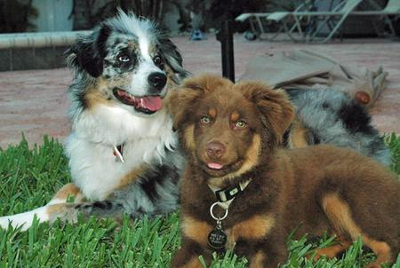 Deuce the Australian Shepherd Pictures 52245