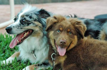 Deuce the Australian Shepherd Pictures 52249