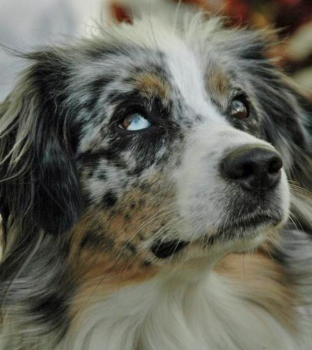 Tinker the Australian Shepherd Pictures 52202