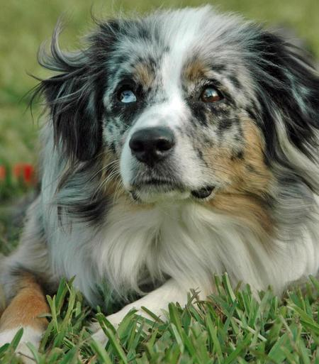 Tinker the Australian Shepherd Pictures 52207