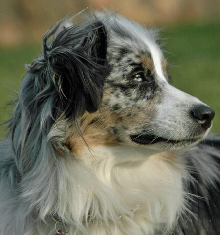 Tinker the Australian Shepherd Pictures 52209