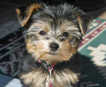 Stella the Yorkshire Terrier Pictures 56142