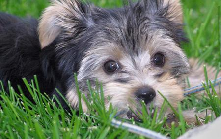 Stella the Yorkshire Terrier Pictures 56138