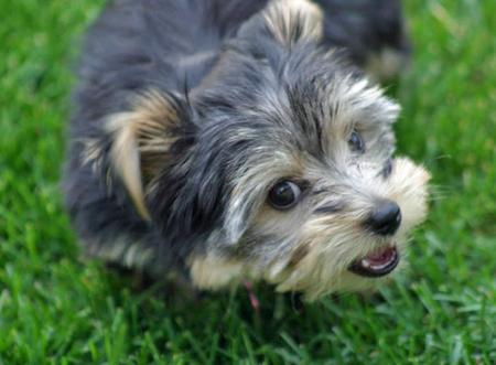 Stella the Yorkshire Terrier Pictures 56133