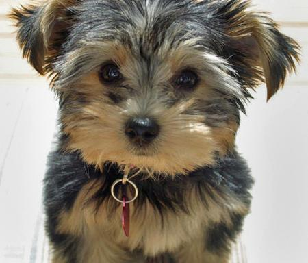 Stella the Yorkshire Terrier Pictures 56131