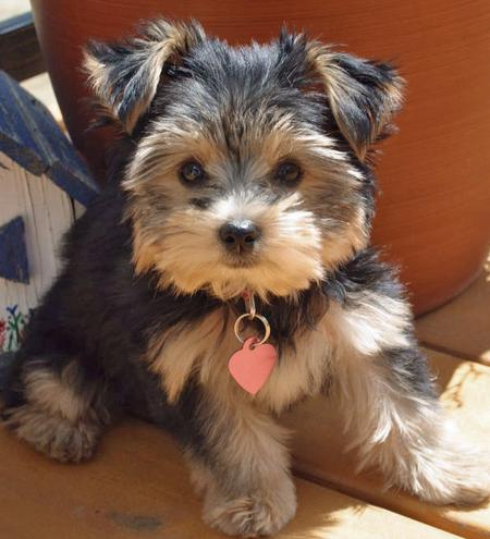 Stella the Yorkshire Terrier Pictures 56129