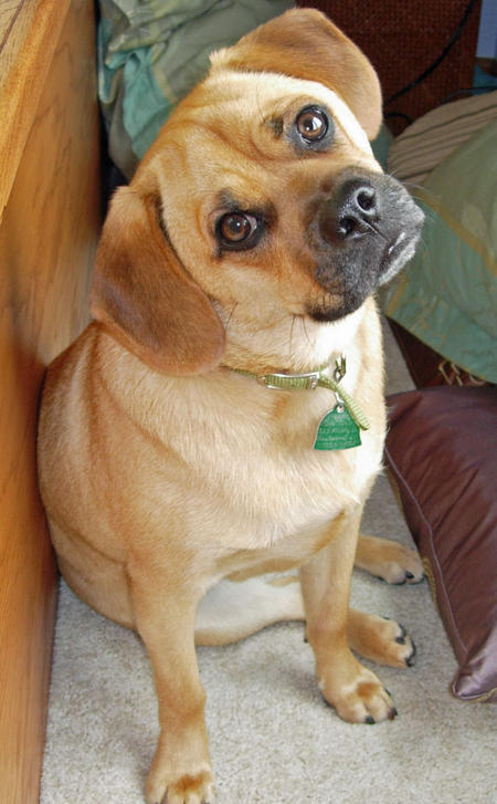 Moses the Puggle Pictures 377795