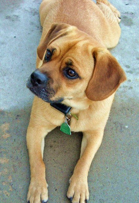 Moses the Puggle Pictures 377790