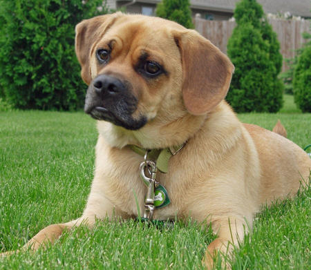 Pin Full Grown Puggle Image Search Results on Pinterest