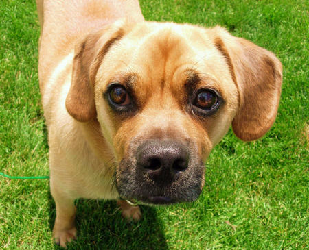 Moses the Puggle Pictures 377792
