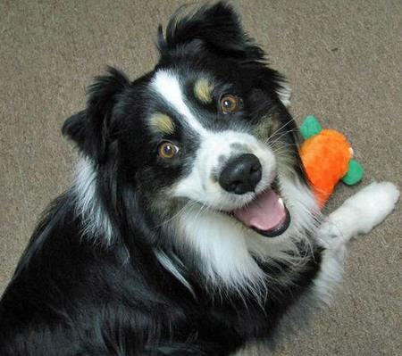 Toby the Australian Shepherd Pictures 54375