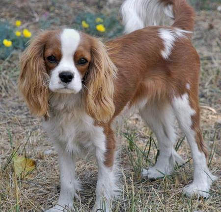 Henry the Cavalier King Charles Spaniel Pictures 56089