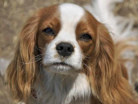 Henry the Cavalier King Charles Spaniel Pictures 56086