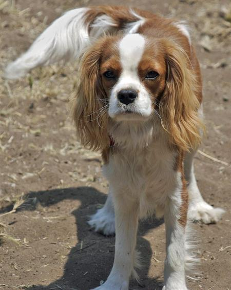 Henry the Cavalier King Charles Spaniel Pictures 56103