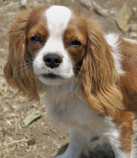 Henry the Cavalier King Charles Spaniel Pictures 56101