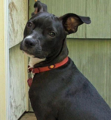 Scout the Terrier Mix Pictures 70473