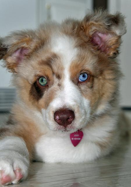 Finn the Australian Shepherd Pictures 61837