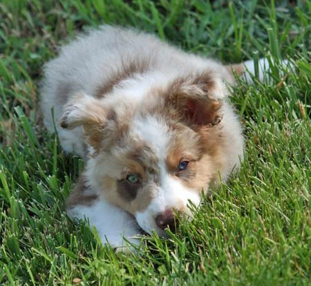 Finn the Australian Shepherd Pictures 61840