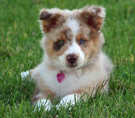 Finn the Australian Shepherd Pictures 61842