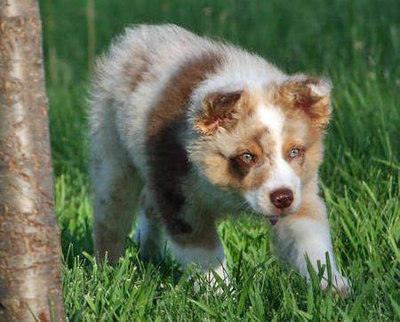 Finn the Australian Shepherd Pictures 61847