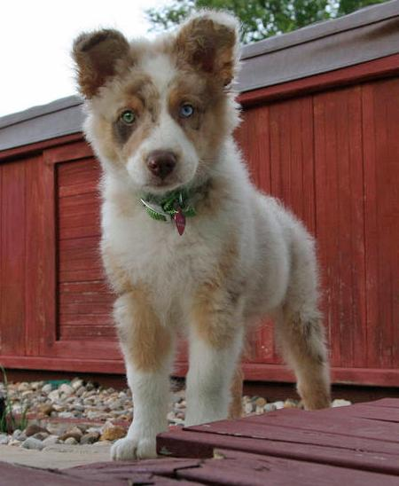 Finn the Australian Shepherd Pictures 61850