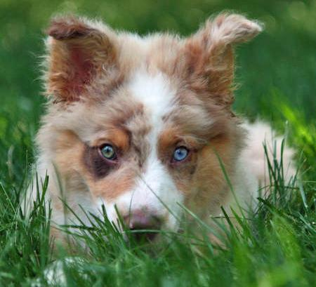 Finn the Australian Shepherd Pictures 61855
