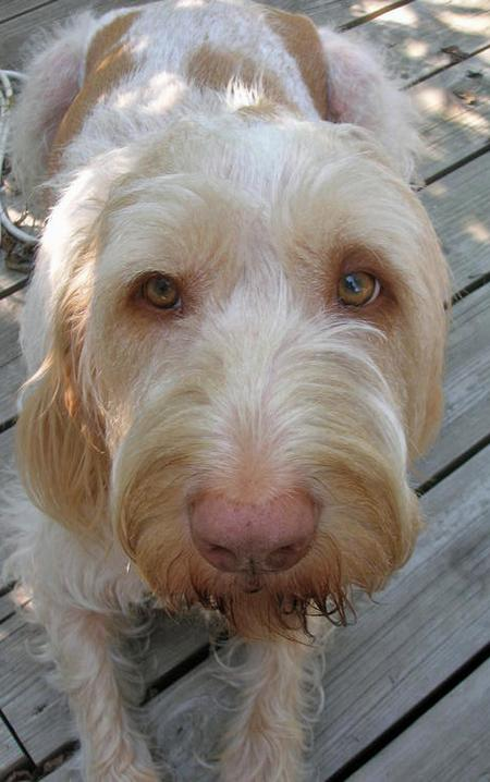 Nunzio the Spinone Italiano Pictures 83038