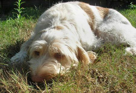 Nunzio the Spinone Italiano Pictures 83032