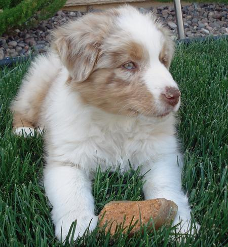 Mylo the Australian Shepherd Pictures 86456