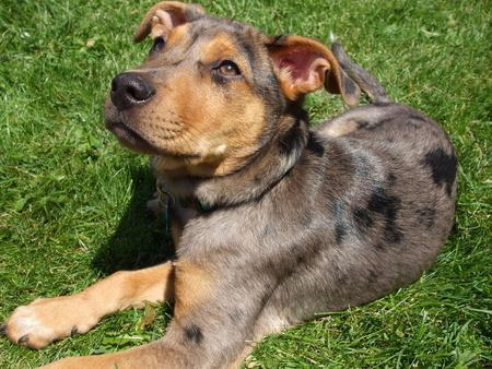 Catahoula Leopard Dog Tree Climbing Images & Pictures - Becuo