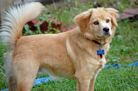 Beaker the Chow Mix Pictures 212416