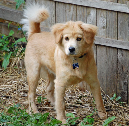 Beaker the Chow Mix Pictures 212415